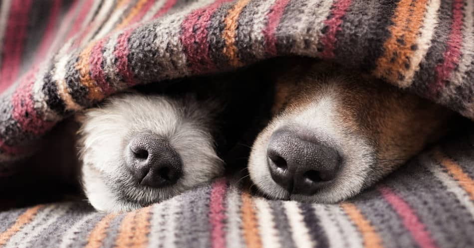 Do dogs need blankets?