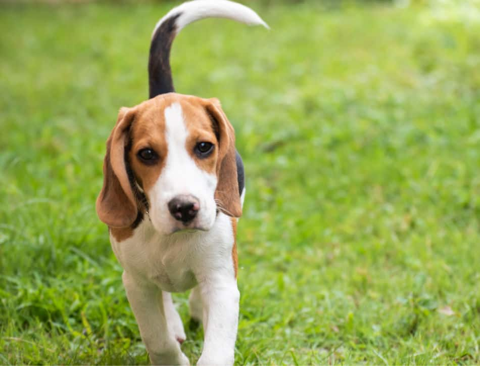 How To Tell If Your Beagle Is Purebred: Body, Traits, Papers, DNA
