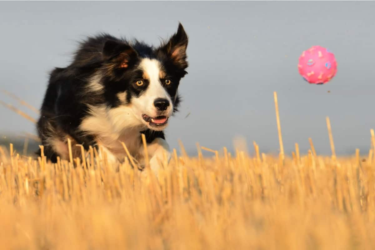 21 Dog Breeds That Love Playing Fetch