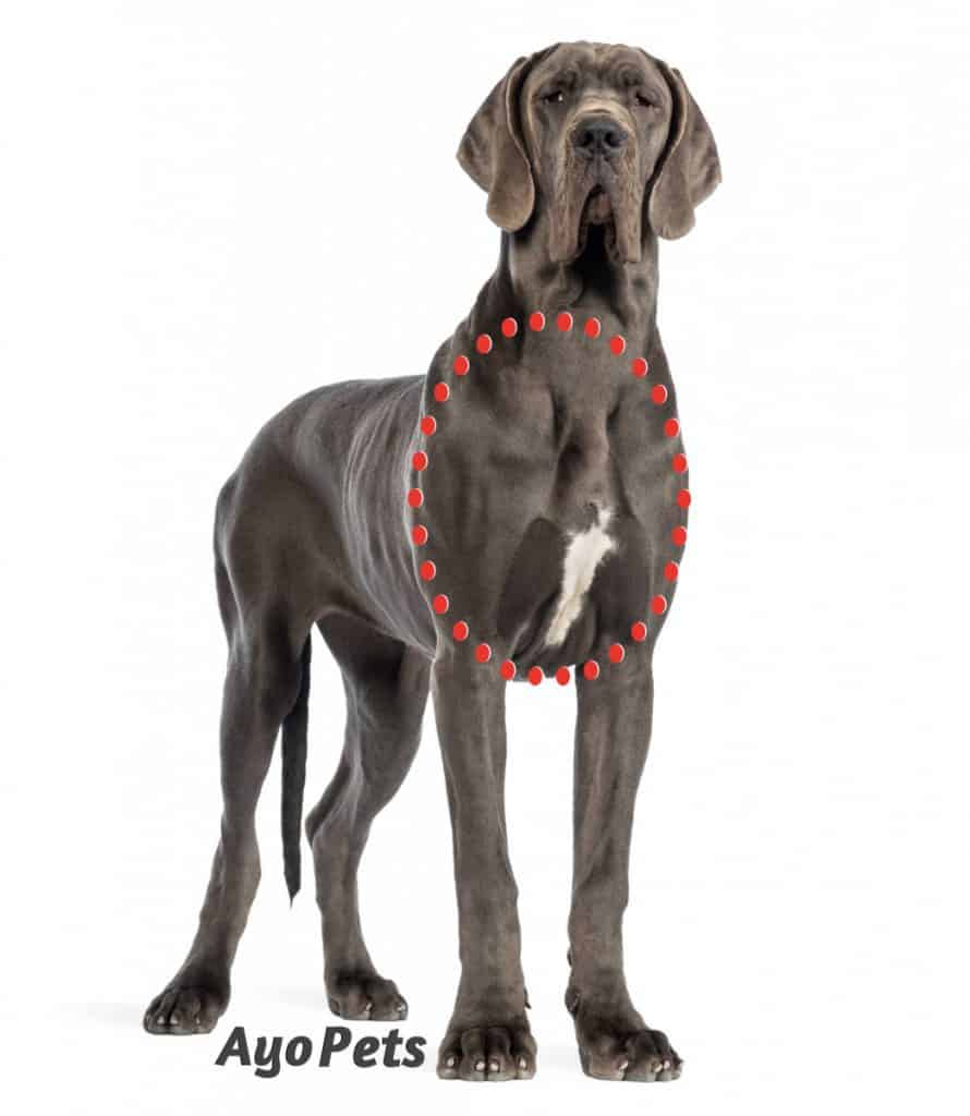 photo of a great dane showing the chest area