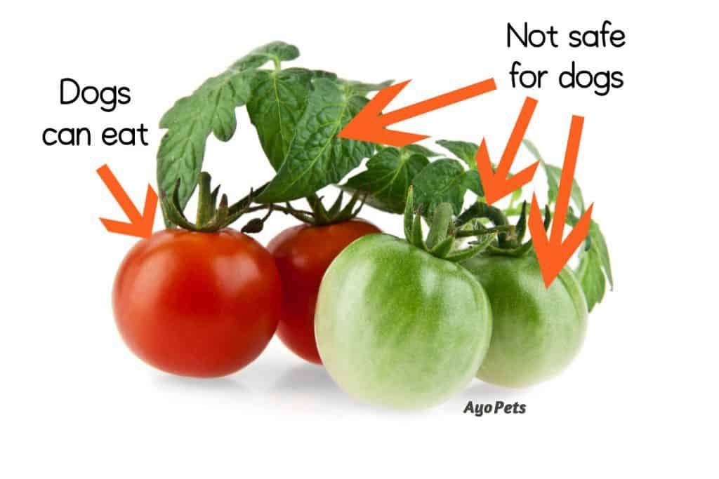 Photo of red and green tomatoes with labels showing which parts dogs can and cannot eat