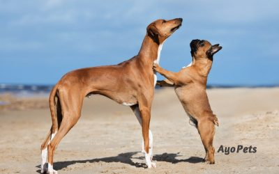 What Deep-Chested, Barrel-Chested and Round-Chested Dogs Look Like