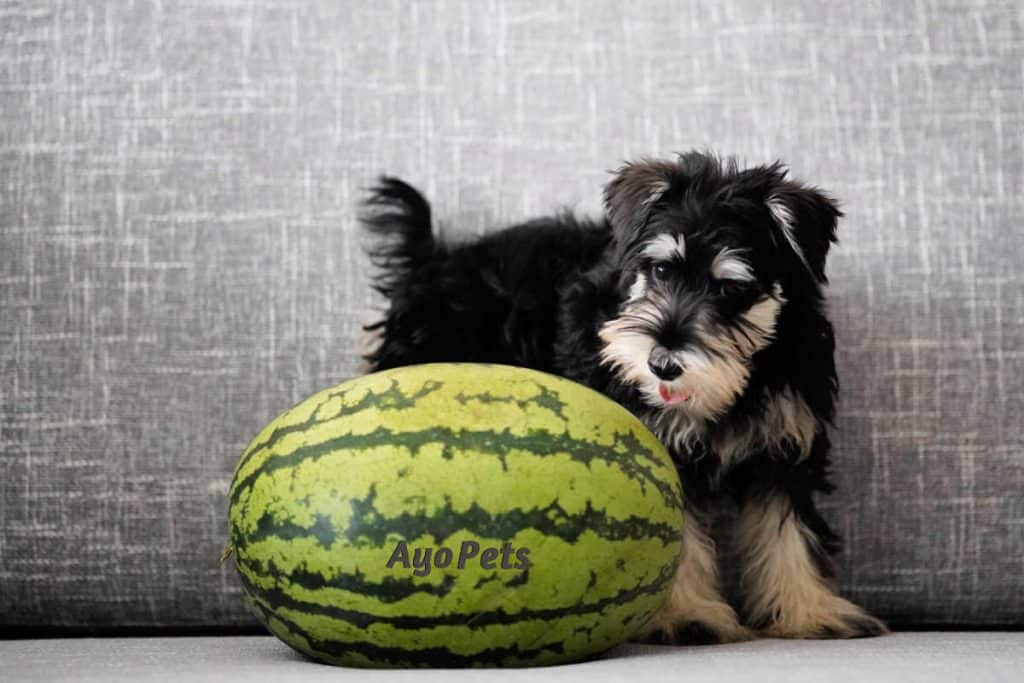 Photo of schnauzer sniffing a watermelon
