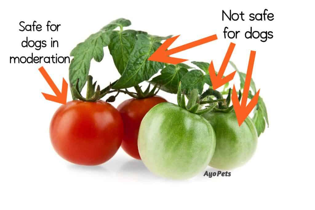 Picture of green tomatoes, stalks and leaves with a label showing what parts dog cannot eat