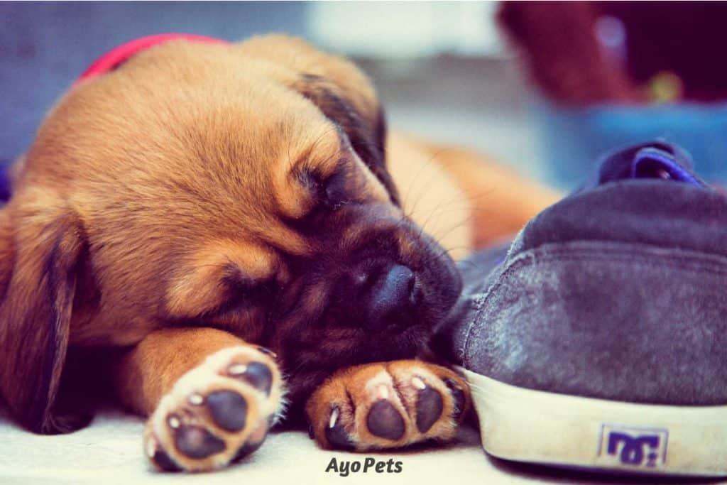 When should a puppy stop eating puppy food?