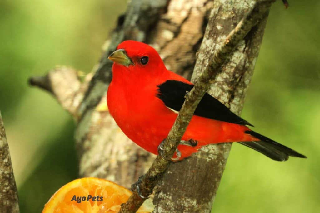 Photo of a red talanger that eats bees