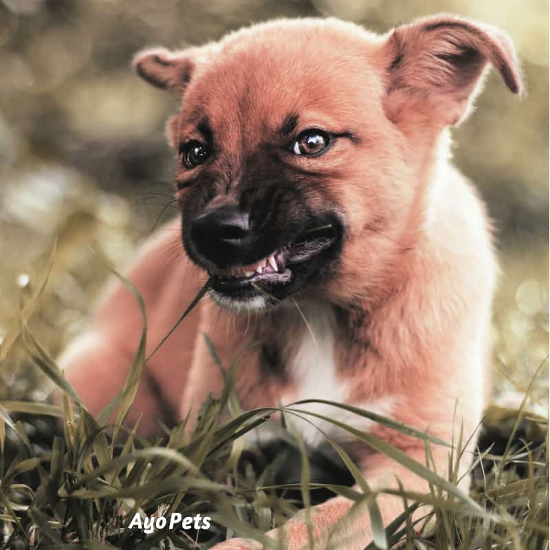 Photo of a puppy growling and showing its teeth