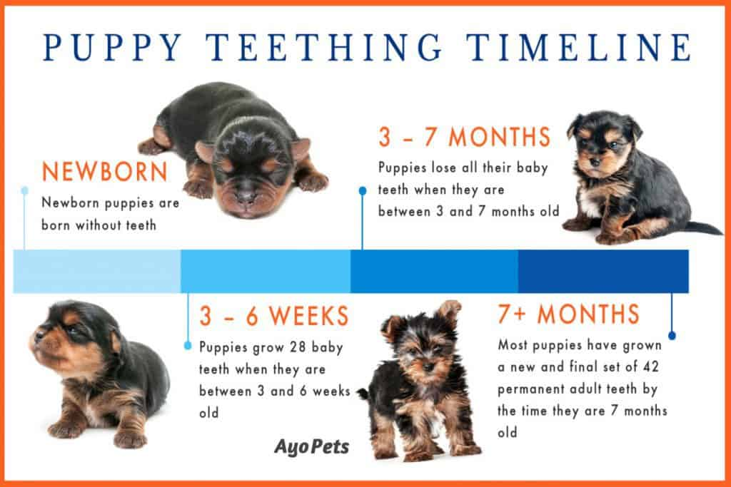 Infographic showing the puppy teething timeline