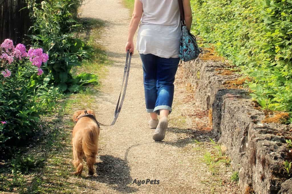 Walking a dog after a meal