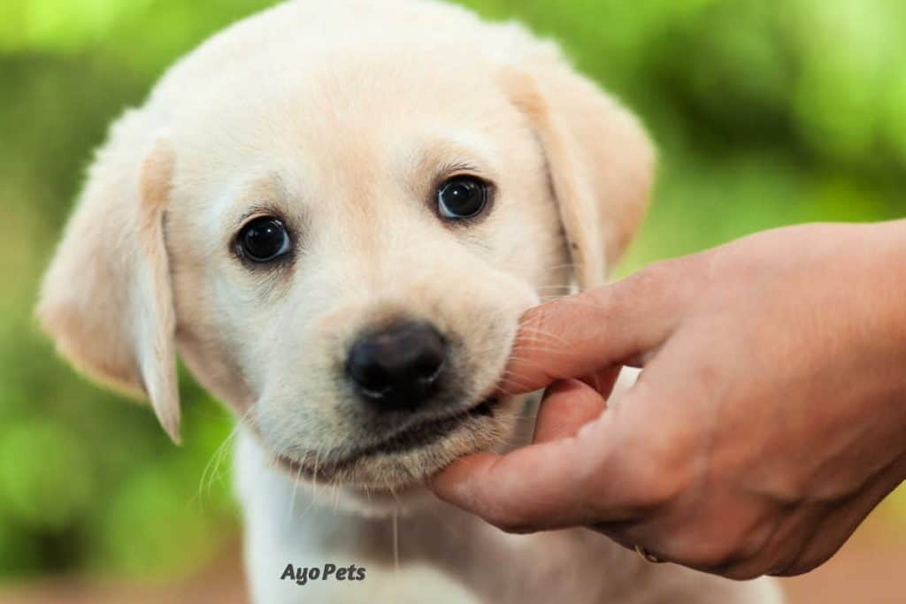 Photo of a puppy Labrador chewing on a finger