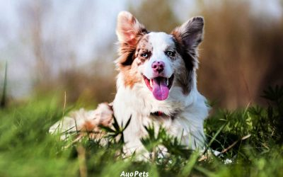 What Is A Double Merle Dog And How To Tell If You Have One