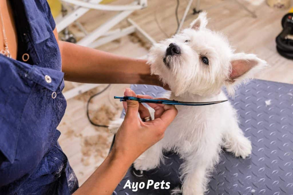 Photo of a Westie puppy getting a haircut