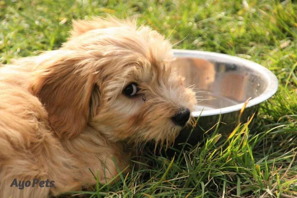 Photo of dog with head on water bowl, refusing to drink