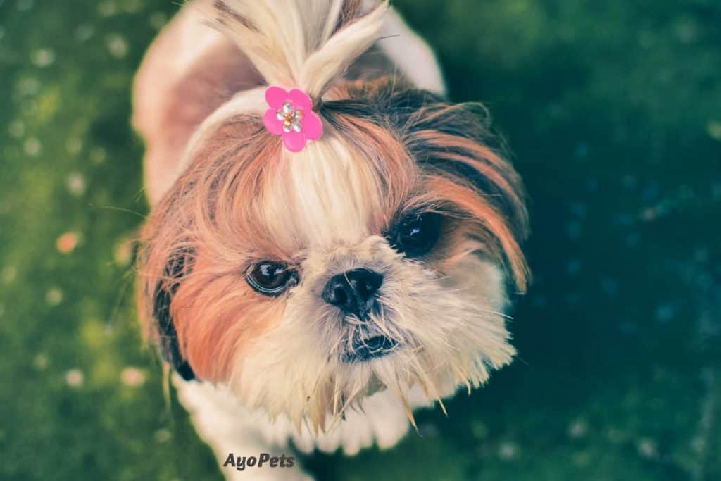 Photo of a puppy with a flower tie in her hair