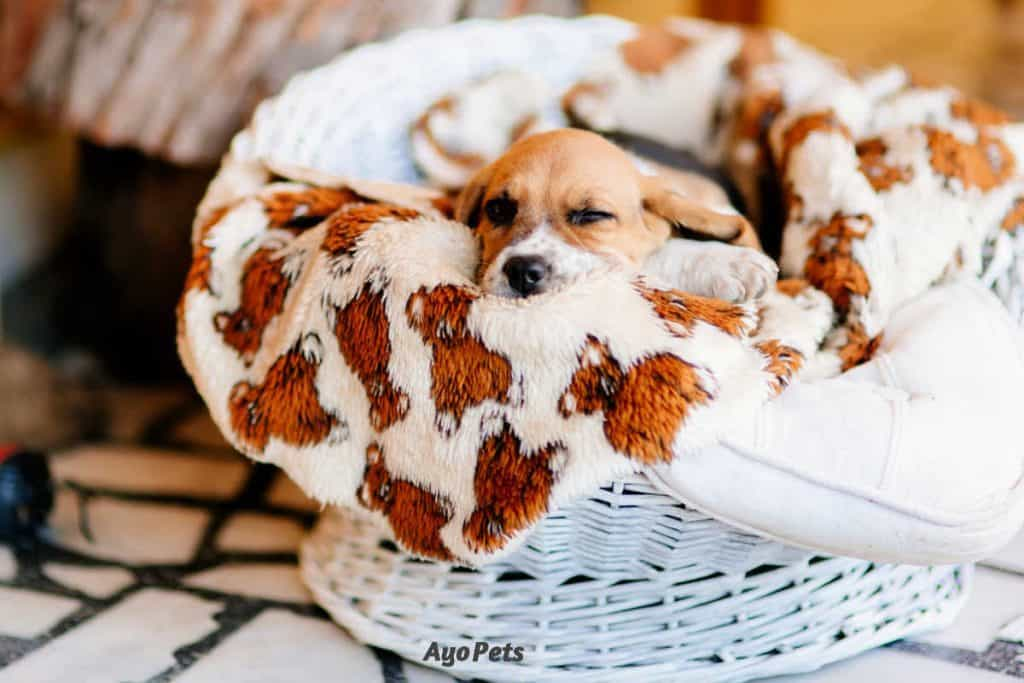 Photo of a beagle puppy sleeping under a blanket