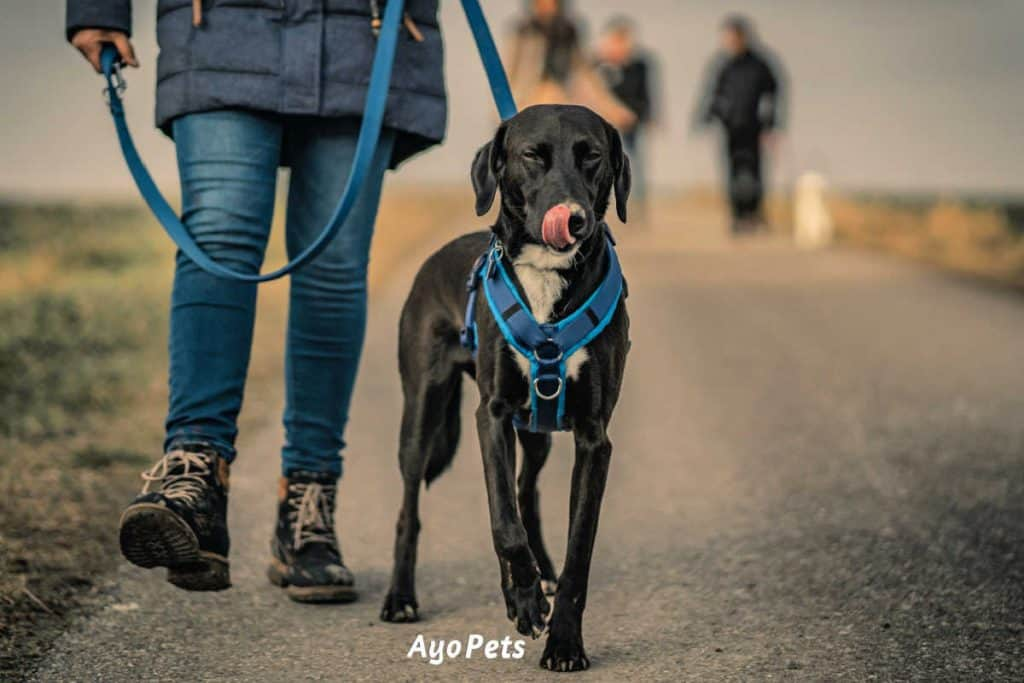 Photo of a dog walking next to its owner with a blue harness on