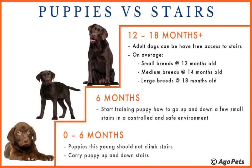 Can puppies go up and down stairs - Infographic